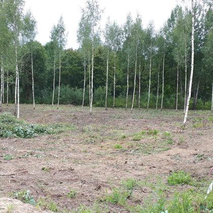 14. Bērzu izkopšana Jaunolainē.